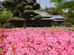 「つつじが岡第二公園」のツツジ_2019_全体的には5分咲きくらい、見頃間近です。(群馬県・館林市)