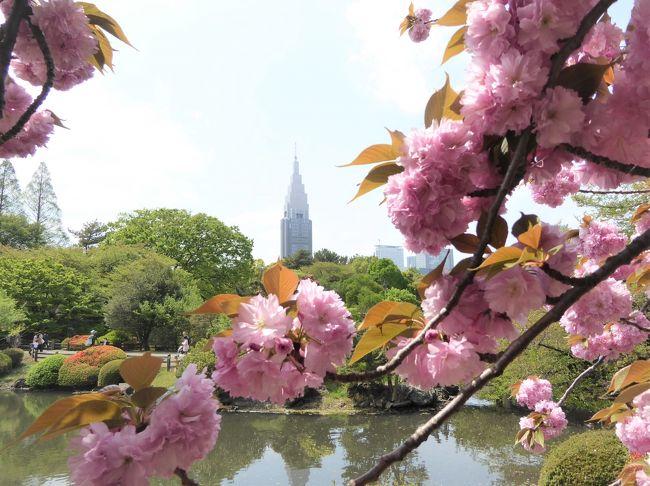 東京の桜の名所、新宿御苑。<br />約65種の桜が咲くということで、今年は3月初旬・4月初旬・中旬と3回訪れてみました。新宿御苑は広く、大きく目立つ桜で綺麗ですが、いろいろな品種の桜を探すのも楽しかったですね。。<br /><br />観桜の品種は30種なので、半分ぐらいの品種しか見れてないですね。<br />◆3月9日◆<br /> 3.寒桜<br /> 9.寒緋桜<br /> 1.修善寺寒桜<br />◆4月6日◆<br /> 39.染井吉野<br /> 74.一葉<br /> 47.大島桜<br /> 31.白雪<br /> 81.長州緋桜<br /> 76.鬱金<br /> 82.アメリカ<br /> 33.八重紅枝垂<br /> 83.弁殿<br /> 40.山桜<br /> 84.小汐山<br /> 85.太白<br />◆4月21日◆<br /> 64.関山<br /> 86.普賢象<br /> 87.兼六園菊桜<br /> 88.御衣黄<br /> 89.梅護寺数珠掛桜<br /> 71.福禄寿<br /> 90.五所桜<br /> 91.簪桜<br /> 92.宝珠桜<br /> 93.江戸桜<br /> 94.朱雀<br /> 95.楊貴妃<br /> 65.松月<br /> 96.駿河台匂<br /> 73.天の川<br />※番号は前回からの続き