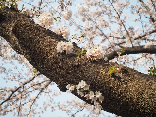 花粉症がつらいので、今年唯一の花見は近場の保土ヶ谷公園で