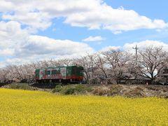 栃木・真岡(北真岡、行屋川)の桜と、館林・鶴生田川の桜を見に行ってみました
