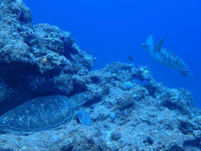 1st Diveから2年7ヶ月で100本目に到達しました。<br />100本記念は石垣で。<br />マンタには会えなかったけど、たくさんのウミガメに会えました。<br />初日~2日目編。<br />