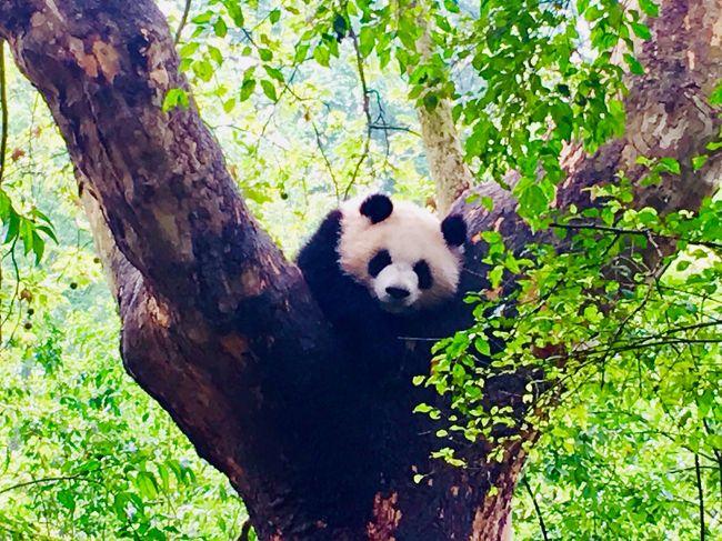 上野動物園にいるシャンシャンは、その所有権が中国にあり、生後2年後に中国に帰ることになっている。それに先駆け、新居となる臥龍パンダ繁殖センターを訪れた。それがメインで、ついでに成都観光もしてきた。<br /><br />1日目:BR765<br />2日目:臥龍パンダ繁殖センター<br />3日目:寛窄巷子、文化公園、百花潭公園、錦里、武侯祠<br />4日目:成都ジャイアントパンダ繁殖研究基地、都江堰<br />5日目:友人宅訪問、BR766<br /><br />後日追記:「中国野生動物保護協会と東京都によるジャイアントパンダ保護研究実施の協力に関する協定書」に基づき、上野動物園で生まれた「シャンシャン」は、満2歳になった時点で中国に返還されることになっていたが、日中合意のもと、新しい協定が締結され、返還は1年半延期されることになった。
