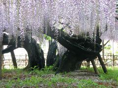 玉敷神社の大藤を愛でに・・・