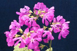 春の川口グリーンセンター♪ Vol.2:美しいニホンサクラソウ♪
