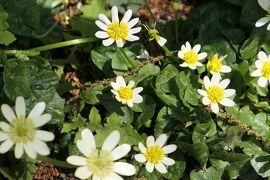 春の川口グリーンセンター♪ Vol.5:可憐に咲く山野草♪