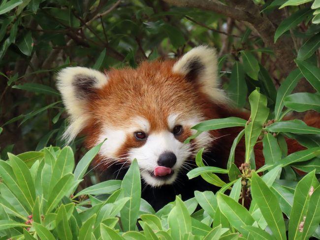 令和のレサ活2園目の訪問は、日本で唯一の離島のパンダである大島レッサーに会いに東京都大島公園です。<br />東京港竹芝桟橋から夜行船で早朝に大島着、港の待合場でまどろみ、島の路線バスで動物園に向かう・・・本土の動物園では味わえない旅の楽しさも存分に味わえるんですよね、ここへの訪問は。<br /><br />可愛く成長したツバキちゃん、ツツジちゃん、そして、美しく成長したアスナロちゃんをはじめとする大島パンダを存分にご覧下さい。<br /><br /><br />これまでのレッサーパンダ旅行記はこちらからどうぞ→http://4travel.jp/travelogue/10652280
