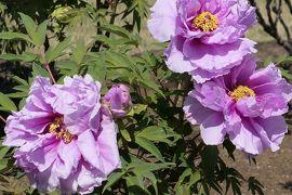 春の川口グリーンセンター♪ Vol.6:艶やかな牡丹♪