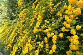 春の川口グリーンセンター♪ Vol.8:咲き始めたフジ・豪華なヤマブキ♪