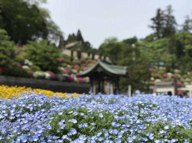朝8時過ぎに、成田山におそらく最も近い、総門すぐ右の弘恵会田町駐車場に到着。まだ十分に空きがありました。<br />2011年夏に撮った時と木材の色合いがかなり変わった総門から仁王門へ進んでも、まだ御堂は見えて来ません。参詣者の期待感を高める効果を狙ってそのように設計されているのだそうです。<br />石段を昇りきると、正面に大本堂がいきなり飛び込んできます。右には意匠が美しい三重塔もお見逃しなく。久しぶりの参拝ゆえ、丁寧にお参りをした後、「大本堂」の御朱印をいただきました。そこからは、家から近い成田山に幼い頃から父母に連れられて幾度となくお参りに来ていたという妻の先導で巡ります。<br />大本堂の裏へ回るとさまざまな童子像がありました。すでに来たことのない場所です。そこから奥へ進むと額堂がありました。その名の通り、信徒から奉納された額や絵馬などをかける建物で、おびただしい数の額を見られました。化政期から天保に活躍した七代目市川團十郎の石像もありました。向かい合うように開山堂も建っています。<br />そしてその先に、元禄期に建立された元の本堂である「光明堂」があります。こちらでも御朱印がいただけます。後方に回ると奥之院があります。ここは洞窟となっており、扉の隙間から覗き込むと薄明かりの中に仏像らしきものが確認できました。道を隔てた所には清瀧権現堂が建っています。<br />いよいよ最深部へ。醫王殿と平和の大塔が現れます。「醫王殿」は2017年に建立されたばかりの木造で、殿内に入ると檜の良い香りがします。健康長寿を祈祷しました。こちらの御朱印はお隣の大塔内で一緒にいただきます。高台に建ち58mの高さを誇る「大塔」は、成田空港の行き帰りにも見えるので、ある意味成田山を代表する建物でしょう。1階入口から入ると御朱印受付があります。靴を脱いで2階へ。本尊である不動明王の巨大さと意匠や真言祖師行状図に惹きつけられます。<br />再び光明堂などの脇を通って山を下り、右にある「釈迦堂」へ。此処は安政年間に建立されたかつての本堂であり、現在の大本堂の建立にあたって現在の場所へ移築されたそうです。御朱印はお堂右側でいただけます。左手前には蔵のような聖天堂も建っています。<br />「出世稲荷」にも立ち寄ったのですが、此処だけが異常な混みようでした。全ての窓口が1つ(2人態勢)で、進みの悪い長蛇の列が出来ていました。薄揚げと蝋燭を購入してお供えしたのですが、家内と来なければ知らなかったことでした。此処での御朱印は諦め次回の宿題とすることにしました。お土産屋さんが並ぶ坂を下って釈迦堂の方へ戻る時に、易断所なるものが多く並んでいる場所がありました。ちょっと香港の寺院を想い出しました。白藤や参道などの写真を数枚撮り、成田ゆめ牧場の牛乳を腰に手を当てて飲んでから帰途につきました。<br />次に向かったのは、成田空港滑走路が望めるさくらの山の展望台。背後には疾走する成田エクスプレスやスカイライナーも見ることが出来ます。最初に訪れた頃にはコンビニが有った程度だったのですが、今は公園となって駐車場が整備され、商業施設も出来ています。離陸する航空機や頭上に飛来した航空機が着陸していくさまは迫力満点なのですが、今日は風向きの関係から、離陸のスタート地点でしたので、此処は早々に後にしました。<br />昼食は、イタリアン「ラ・クッチーナ ハナ」に立ち寄りました。ガーデンを望みながらランチがいただける素敵な空間です。千葉市若葉区の国道51号(下り線)に面していますが、広い駐車場には店舗裏側の旧道?からも入れます。ひとたび店内に入ると、国道がすぐ脇を走っているとは全く感じられないガーデン感に包まれます。ランチは、パスタ・ピッツァ・シェフ特製ローストビーフどれを選んでも、前菜盛り合わせとサラダ、フォカッチャ、本日のデザートとコーヒーなどが付きました。パスタは、桜エビと椎茸のアーリオオーリオ、ボローニャ風ミートソース、グリーンオリーブとキノコペーストのクリームソースショートパスタを選択、ピッツァは、クワトロフォルマッジオ、マルゲリータを選択しました。食事後、ガーデンを散策しましたが、子どもたちは当然のことながら走り回っていました。