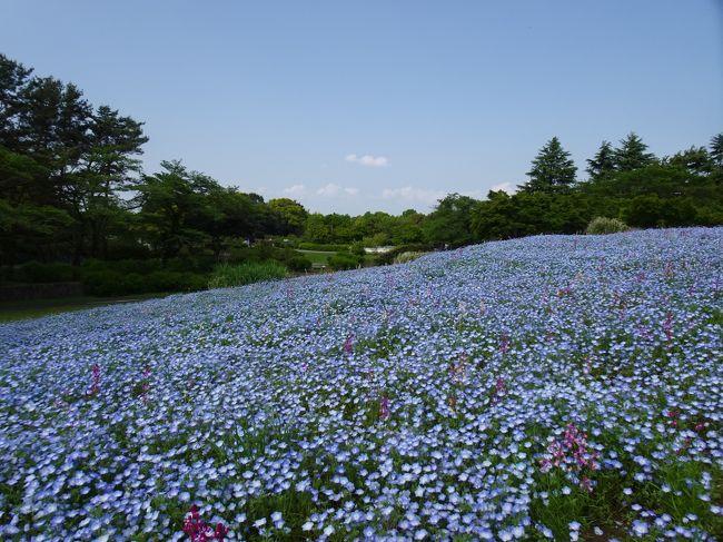 大型連休も半ばを過ぎて好天に恵まれてきました。<br /><br />ひたち海浜公園に行って見ごろのネモフィラを見たいものですが、自宅から遠いし、何より渋滞・混雑は嫌だし...<br /><br />一方東京西部にある昭和記念公園でもネモフィラが開花しているとのこと。<br />ここならば割と近くて手軽に楽しめそう。<br />ということで開園時刻に合わせてちょこっと出かけてみました。<br /><br />
