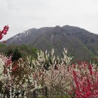 越前大野の芝桜と越前下山の花桃