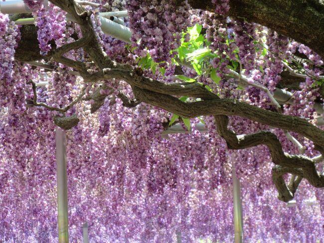 世界が認める 日本の美 ~ あしかがフラワーパーク