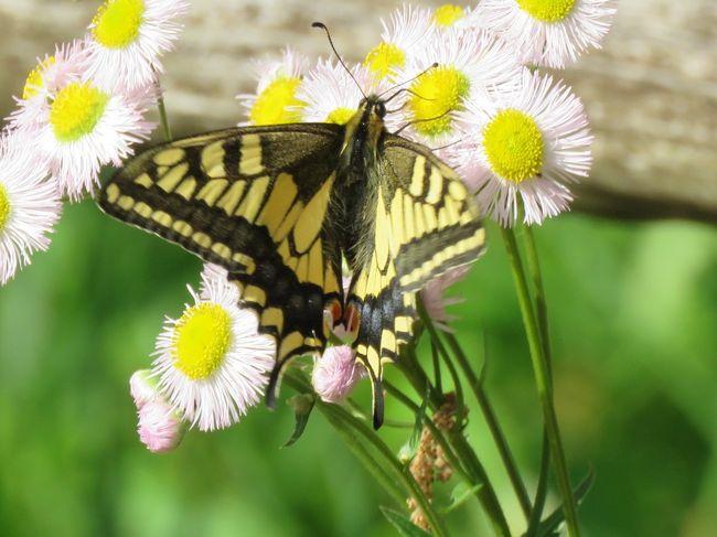 5月8日、午後2時半頃に川越市の森のさんほ道へ行きました。 この日の気温は23℃くらいあり、しかも湿度が低いので快適な散策となりました。 森のさんぽ道も新緑が進んでかなり茂ってきました。 このためか見られる蝶の種類も多くなりました。<br />ハナダイコンやハルジオンの花を求めて飛び回る蝶が数種類見られるようになりました。 この日はキアゲハ、アゲハ、ツマグロヒョウモン、コミスジ、テングチョウ、ルリタテハ、ダイミョウセセリ、モンシロチョウ、ヤマトシジミ、ベニシジミの計10種類の蝶を見ることができました。<br /><br /><br />*写真はキアゲハがハルジオンの花に飛来