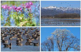 春を告げる花たち探訪とマガンの寄留地