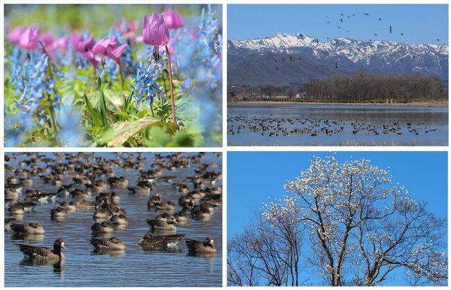 北海道千歳に滞在中、1泊2日でカタクリやエゾエンゴサクなどの春の妖精を求めて空知方面へドライブに出掛けました。<br />途中、かねてからの念願かなって国の天然記念物の「マガン」の寄留地として有名な宮島沼へも立ち寄ることが出来、実りある旅となりました。<br />写真はデジイチとスマホの画像を取り混ぜておりますので、見にくい画像もあるかと思いますがご了承下さい。<br /><br />                      (2019.5.10記)<br /><br /><br />