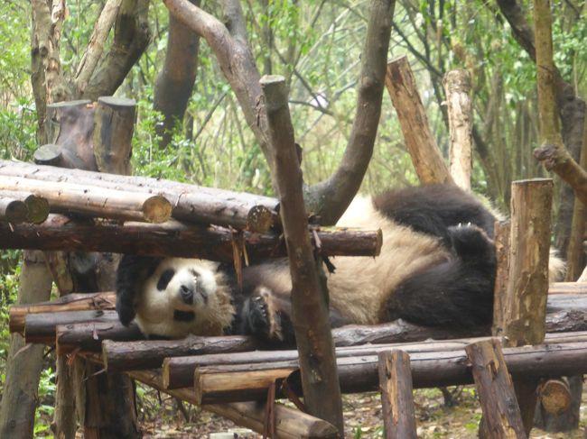 5歳の娘を連れてGW四川省+重慶10日間の旅7-連休で超大混雑の成都熊猫基地