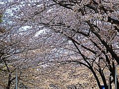 都内桜名所-3 六本木さくら坂 公園に隣接 ☆六本木ヒルズから歩いて近く