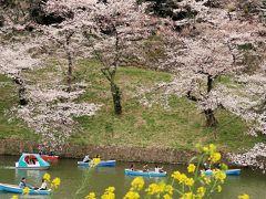 都内桜名所-5 千鳥ヶ淵緑道 老木桜に貫禄がでて ☆満開近くで人出も多く