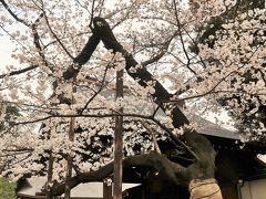 都内桜名所-7 靖国神社 桜の標本木・撮影スポット大人気 ☆東京の開花宣言を判定