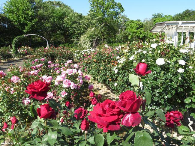 GWも終わり、そろそろ春バラが見頃を迎える時期となりましたが、各所のバラの開花状況を調べても、まだ見頃前のようで、今年の春バラは、少し遅いのかも?<br />そんなん中、まず最初は大船フラワーセンターの春バラを楽しみに出掛けました。<br /><br />(バラの名前は、名札を参考にしています。)