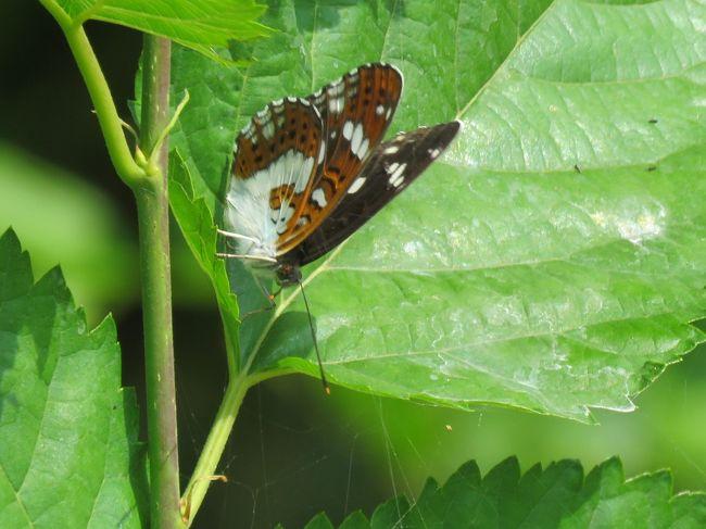 5月12日、午後1時過ぎに川越市の森のさんぽ道へ行きました。 目的は蝶の観察です。 この日は2,3日前と比較して約4℃くらい低く快適でした。 今年初めて見たのはイチモンジチョウ、トラフシジミチョウです。 その他に見られたのはアゲハ、モンシロチョウ、テングチョウ、コミスジ、ツマグロヒョウモン、ダイミョウセセリ、キチョウの9種類です。 この日はアゲハチョウがかなり見られました。 ハルジオンの花に飛来していました。 コミスジやダイミョウセセリも多く見ました。<br /><br /><br /><br />*写真は今年初めて見たイチモンジチョウ