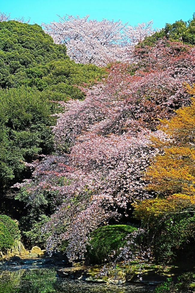 本館北側の庭園を公開します。エドヒガンザクラ、オオシマザクラ、ギョイコウザクラなど10種類もの桜が次々と開花する庭園は、1年でもっとも美しい花の園になります<br /><br />東京国立博物館の本館北側に広がる庭園は、池を中心に5棟の茶室を配し、四季折々の花や紅葉に彩られる憩いの空間です。かつてあった動植物の研究部門「天産部」の名残で、珍しい樹木や野草が植えられているのも特徴です。また、5代将軍徳川綱吉が法隆寺に献納した五重塔や、石碑や燈籠などが庭園には遺されています。<br /> 春の庭園開放:2019年3月12日(火)~5月19日(日)  10:00~16:00 <br />https://www.tnm.jp/modules/r_free_page/index.php?id=121 より引用<br /><br />ヤエベニヒガン については・・<br />http://www7b.biglobe.ne.jp/~cerasus/cera-yrw/c-yaebenihigan.html<br />https://www.ootk.net/cgi/shikihtml/shiki_4541.htm<br />https://jahlove.jp/sakura/231.html<br />http://wampaq.photo-web.cc/sakura/data/yaebenihigan.htm<br /><br />東京国立博物館は、日本と東洋の文化財(美術品、考古遺物など)の収集保管、展示公開、調査研究、普及などを目的として独立行政法人国立文化財機構が運営する博物館である。<br />1872年(明治5年)に創設された、日本最古の博物館である。東京都台東区の上野恩賜公園内にある。本館、表慶館、 東洋館、平成館、法隆寺宝物館の5つの展示館と資料館その他の施設からなる。2018年3月31日時点で、国宝89件、重要文化財643件を含む収蔵品の総数は117,460件。これとは別に、国宝55件、重要文化財260件を含む総数3,109件の寄託品を収蔵している。総合文化展(平常展)に展示している文化財の件数は約3,000件で、2017年度の展示替え件数は6,616件、展示総件数は10,223件。同年度の来館者数は約257万人で、平常展来場者は約103万人。 <br />(フリー百科事典『ウィキペディア(Wikipedia)』より引用)<br /><br />東京国立博物館 については・・<br />https://www.tnm.jp/