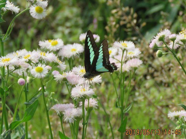 5月13日、午後1時半過ぎに川越市の森のさんぽ道へ蝶の観察で行きました。 この日は前日と同様な気温で森の中では快適でした。 この日はハルジオンの花の吸蜜に貪欲なアオスジアゲハを観察できたのはラッキーでした。 美しいアオスジアゲハの写真撮影に成功しました。 その他の蝶はキタテハ、ルリタテハ、ツマグロヒョウモン、キチョウ、ダイミョウセセリ、コミスジの計7種類の写真撮影ができました。<br /><br /><br />*写真はアオスジアゲハ