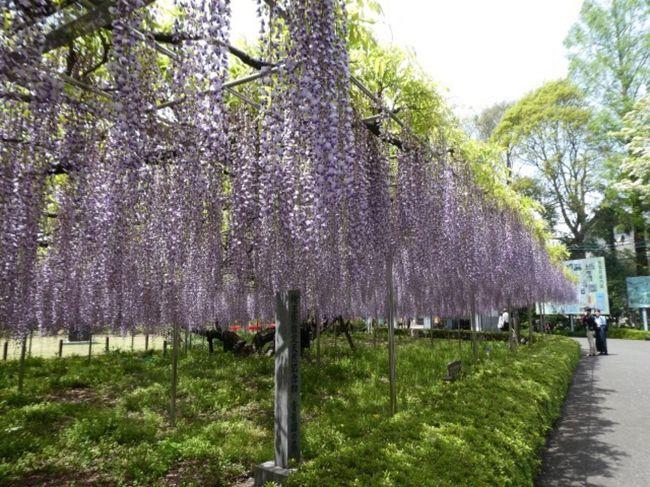 埼玉県大宮にある「青葉園」の中に樹齢700年になる藤があります。<br />ピークだということで見に行ってみました。