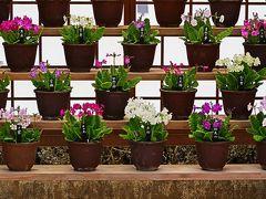 佐倉-4 くらしの植物苑a  桜草の栽培史を学ぶ ☆サクラソウは日本独特で栽培発展