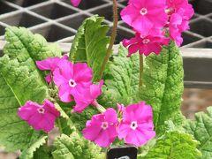 佐倉-6 くらしの植物苑c [伝統の桜草]展 ☆サクラソウ;新品種も色いろと