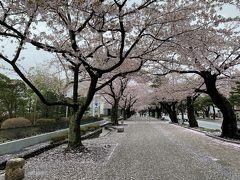 201904-05GW-01_十和田市内で桜鑑賞 Sakura in Towada-shi (Aomori)