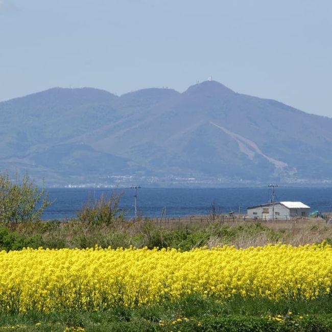 日本最大の菜の花畑!青森県野辺地町の菜の花畑を紹介します!<br /><br />全国各地から見に来るぐらい美しい。<br /><br />日本最大の菜の花畑、毎年ゴールデンウィーク終わり頃が見処!黄色じゅうたんに囲まれた菜の花畑は、陸奥湾と釜臥山のバックで更に美しくさがばいぞう!<br /><br />そして、何よりも見るだけではなく、菜の花を使った美味しい食べ物も!<br /><br />また、風車と菜の花と放牧されている牛の風景もまたのどか な風景。