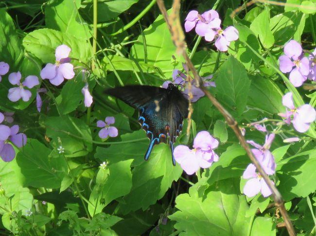 5月15日、午後2時半過ぎに川越市の森のさんほ道へ行きました。 気温が約24℃もありましたが風もあり、森の中はしのぎやすかったです。 5月中旬ともなればいろいろな蝶が見られるようになりますので期待していましたが、この日はカラスアゲハ、ダイミョウセセリ、ルリタテハ、テングチョウ、コミスジ、モンシロチョウの6種類が写真撮影できました。 ハナダイコンの花に飛来していたカラスアゲハを見られたのは良かったです。<br /><br /><br />*写真はハナダイコンに飛来していたカラスアゲハ
