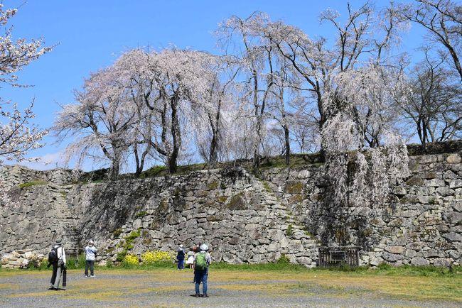 津山城は江戸時代初期に藩主森忠政が13年の歳月をかけ完成させた日本三大平山城のひとつで、石垣の石が大きく、城門と櫓の数が多い特徴があります。<br />城の東は宮川を天然の堀とし、残りの三方には人工的に水堀を掘ってその排土を用いて土塁を築いて外郭の防備としました。<br />明治になって津山城は廃城となり、すべての城郭建築が取り壊され、本丸・二の丸・三の丸は石垣や土居(土塁)がほぼ残っていますが、外郭は堀が埋め立てられ市街地化しています。<br /><br />津山城の鶴山公園は岡山県内で唯一、全国桜名所百選に選ばれている桜の名所です。<br />この桜の植樹に尽力したのが福井純一。大正から昭和初期にかけて約二千本が植樹され、全山が桜で覆われるようになりました。<br />2019年の「津山さくらまつり」は、3月29日~4月14日に開催。訪れた4月4日が五分咲き、翌日満開になりました。<br />桜の種類はソメイヨシノが大半ですが、枝垂れ桜、陽光、神代あけぼのも咲き誇ります。<br /><br />今日は津山駅付近から城下町の町並みを散策しながら津山城のお花見をします。<br />町なかを歩いていると、昔旅館だった木造の建物、お洒落な写真館や赤レンガの建物、堀の跡などに出会います。<br />津山城では城門・櫓跡の多さと石段の一つづつの高さには驚きました。<br />津山城の桜は、青空と共に見上げたり、本丸から見下ろすと一面が真っ白に染まり、贅沢なお花見ができます。<br /><br />表紙の写真は「津山城本丸を彩る枝垂れ桜」。<br /><br />なお、旅行記は下記資料を参考にしました。<br />・津山瓦版「アルネが出来る前の吹屋町界隈の写真」「旅館お多福」「旧西村旅館」「津山城外濠跡」「赤レンガのお洒落な建物ランプ」「桜の植樹に心血を注いだ福井純一」「津山城(鶴山公園)の石垣について」<br />・江見写真館HP<br />・瀧澤商店「日本の洋燈(石油ランプ)の歴史」<br />・日本マンホール蓋学会「津山市のマンホール」<br />・津山市「津山城について」「国指定文化財、津山城址」「日本有数の櫓の数を誇る津山城」「城東地区が国から重要伝統的建造物群保存地区に選定されました」<br />・tigersharkさんブログ「お城へ行こう!津山城」<br />・三好貴之/近田陽子著「津山城案内図」<br />・津山市中心市街地活性化協議会「津山城下地区まちづくりプラン」、平成27年8月<br /> 寄稿:広島大学大学院教授 三浦正幸氏「津山城跡の歴史的価値」<br />・津山市観光協会「津山城見取図」「津山さくらまつり」<br />・underZeroの城用語集「合坂」<br />・城西まちづくり協議会「津山市城西地区」<br />・Wikipedia「ジンダイアケボノ」<br />