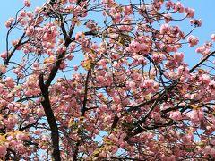 皇居東御苑-6 桜の島あたり カンザン-花ざかり ☆シャクナゲも満開に