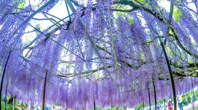藤の花  ステキな香り 忘れなくて 白豪寺へ・・・<br /><br /> この 淡い 紫に 囲まれた 雰囲気が<br /><br /> 素晴らしく 魅力的です・・・<br /><br /> 海外の 藤も 綺麗ですが<br /><br /> 日本は 美しさを 追及するのに<br /><br /> センスがあるのでしょう!!<br /><br /> 日本に 四季があって 地元の方の努力<br /><br /> ありがとうございます。