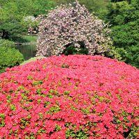 新宿御苑-2 ツツジ山あたり つつじ/躑躅 花ざかり ☆八重桜との競演も見ごろ