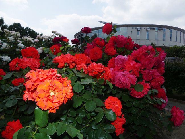 埼玉県の北部、国道407号線に面して「道の駅めぬま」があります。この道の駅には「アグリパーク」というバラ園が併設されており、春と秋には、綺麗なバラを見せてくれます。<br />今回も、大小さまざま、色とりどりのバラが、沢山咲いていました。これだけのバラを一斉に咲かせるのは大変なことだと思いますし、傷んだ花が目立たないのはスタッフの方が毎日手入れしているのだろうと思い、頭が下がります。<br /><br />旅行記作成に際しては、現地の説明板、熊谷市のホームページ、関連するネット記事を参考にしました。