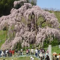 三春滝桜と花見山公園2日間の旅!
