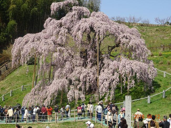 JTB旅物語のツアーに参加して、三春滝桜と花見山公園に出かけてきました。一度見てみたかった三春の滝桜も満開状況でしたのでラッキーでした。ツアーの前後には雨でしたので、天気にも恵まれ春の福島を満喫する事が出来ました。