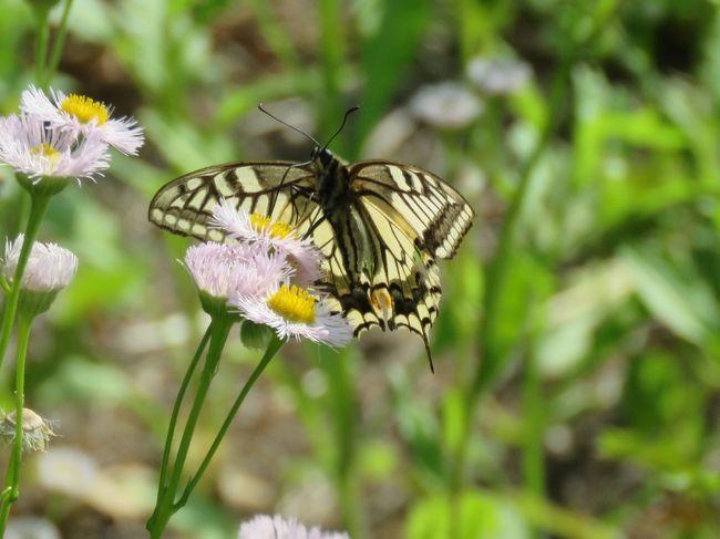 5月19日、午後1時過ぎに川越市の森のさんぽ道へ行きました。 昨日、アカシジミを見られたので昨年に見られたジャノメチョウ科の蝶やウスイロオナガシジミ等が見られるのではないかということで行きました。 この日の気温は25℃以上あり、風がやや吹いていて凌ぎやすかったのですが、肝心の探し求めていた蝶は見られませんでした。 キアゲハやイチモンジチョウやヒメウラナミジャノメが見られました。 その他としてはキチョウ、コミスジ、ダイミョウセセリ、ツマグロヒョウモン、モンシロチョウで計8種類でした。<br /><br /><br />*見られたハルジオンに飛来したキアゲハ