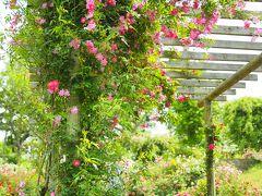 オールドローズのバラに包まれる 佐倉草ぶえの丘