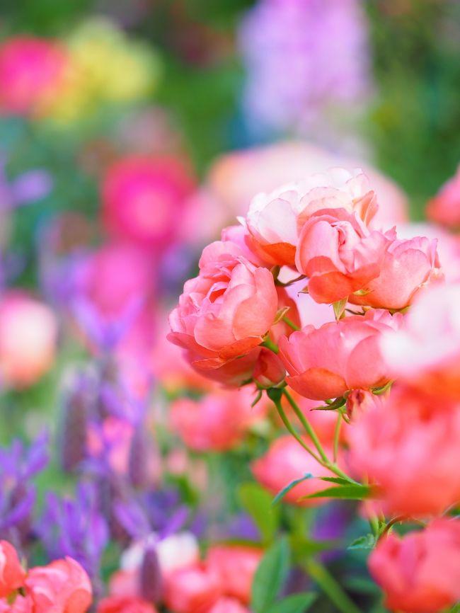 花と緑にあふれる都市「ガーデンシティ横浜」を推進するプロジェクト<br />ガーデンネックレス横浜2019もいよいよ最終章。桜・チューリップと<br />つないできた花のバトンもバラへと移り街の華やかさは最高潮に♪<br /><br /><br />山下公園「未来のバラ園」(160品種、1,900株)<br />港の見える丘公園「イングリッシュローズの庭」(150品種、1,000株)<br />「香りの庭」(100品種、500株)<br />「バラとカスケードの庭」(80品種700株)       <計4,100株><br /><br />横浜イングリッシュガーデン 1800品種・2000株