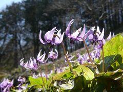 「西光寺」の(裏山の)カタクリ_2019_4月2日は、やや見頃過ぎですが、沢山咲いていました(埼玉県・小川町)