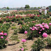 花園芍薬園と渋沢栄一の足跡を訪ねて