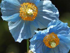 ヒマラヤの青いケシにひと時の涼を求めて六甲高山植物園へ!