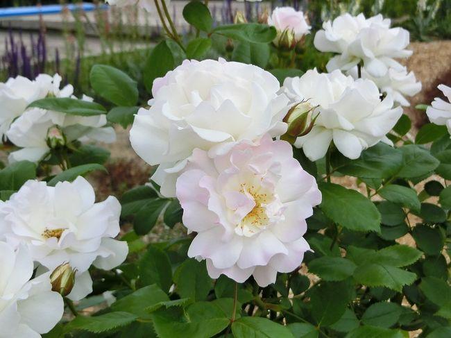 """大阪万博記念公園の「平和のバラ園(PEACE ROSE GARDEN)」は昨年の秋からリニューアル工事のため休園されていました。<br />休園中、リニューアル工事内容の詳しい情報はまったく入手できませんでしたが、4月の「えきすぽさんぽ:2019.4 万博記念公園だより」に、""""4/1(月)オープン「平和のバラ園」リニューアル・・・「平和のバラ園」が、この春、「極上の癒しの空間」として生まれ変わります。「のだふじ」の藤棚を新設""""と言う記事が掲載されていました。<br /><br />僅か半年の休園でリニューアル・オープン出来るのだろうか?<br />今までのバラはどこかへ仮植して、春になったら再び、元の場所へ植えるのだろうか?と疑問を持っていました。<br /><br />5月の「えきすぽさんぽ:2019.5 万博記念公園だより」には、""""ローズフェスタ:5/11(土)~6/9(日)・・・1970年の大阪万博開催時、世界9カ国から平和を願って贈られたバラたちと、最新のバラを取り入れた「極上の癒し空間」として生まれ変わった「平和のバラ園」。優美なバラの姿はもちろん、豊かな香りもぜひお楽しみください。""""と掲載されていました。<br /><br />予想よりも早くリニューアル・オープンできるのは非常に有難いことですが、期待50%の気持ちでバラ見物に出かけてきました。<br /><br />そのような「平和のバラ園・旅行記」ですが、よろしければ、一見・一読していただければ有難く思います。"""