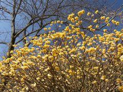「梅田ロウバイパーク」のミツマタ_2019_3月20日は7分咲きくらいで綺麗でした。(群馬県・桐生市)