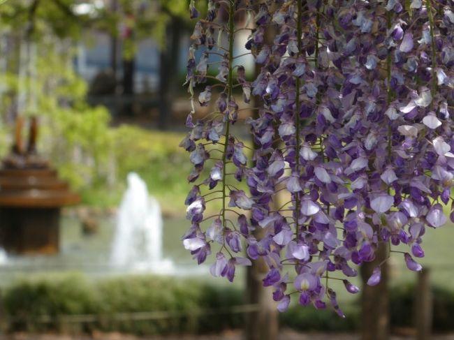 埼玉・加須にジャンボこいのぼりを見に行ってきました。<br />せっかくなので近隣にある藤の名所も回ってきました。<br /><br />■①玉敷神社の藤<br />玉敷神社に隣接する公園で藤の花を見て、神社にお参りしました。<br />■②ジャンボこいのぼりのお祭り<br />ジャンボこいのぼりが泳ぐ加須市民平和祭に行ってきました。<br />■③大天白公園の藤<br />大天白公園で再び藤の花を見ました。