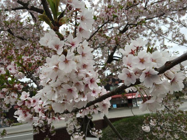 福島を出発して、宮城~岩手を経て青森へ。<br />主人の希望で、八甲田山雪中行軍遭難資料館へ。<br />昔、観た、高倉健の映画を思い出し、感慨深いものがありました。<br />桜が美しく咲いていました。<br />竜飛岬ではあいにくの天気で、北海道がほんのりと見える程度。<br />でも、北に来たんだなぁ~とこれまた感慨深い。<br />三内丸山遺跡は以前から来たかったところです。縄文時代の力強さを感じました。<br />十和田湖、奥入瀬渓谷では自然をしっかり感じます。